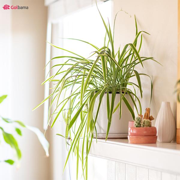 سخاوتمندترین نوع گیاهان آپارتمانی کم نور: 10. گیاه گندمی (Spider Plant)