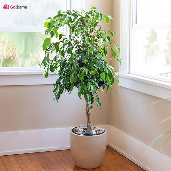 درختچهی رؤیایی گیاهان آپارتمانیِ کم نور: 4. گیاه فیکوس بنجامین (Weeping Fig Tree)