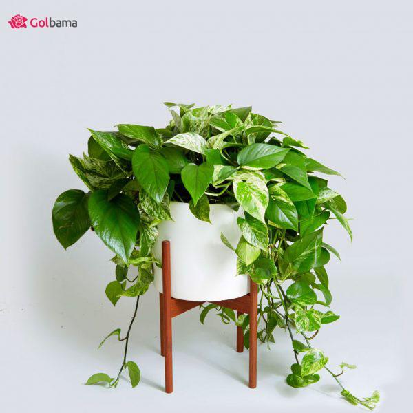 محبوبترین نوع گیاهانِ آپارتمانی زینتی: 12. گیاه پوتوس (Pothos Plant)