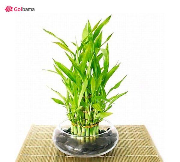 محبوبترین نوع گیاهانِ آپارتمانی زینتی: 13. گیاه بامبو (Chinese Water Bamboo)