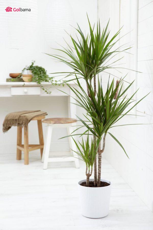 محبوبترین نوع گیاهان آپارتمانی زینتی: 14. گیاه دراسنا (Dragon Tree)
