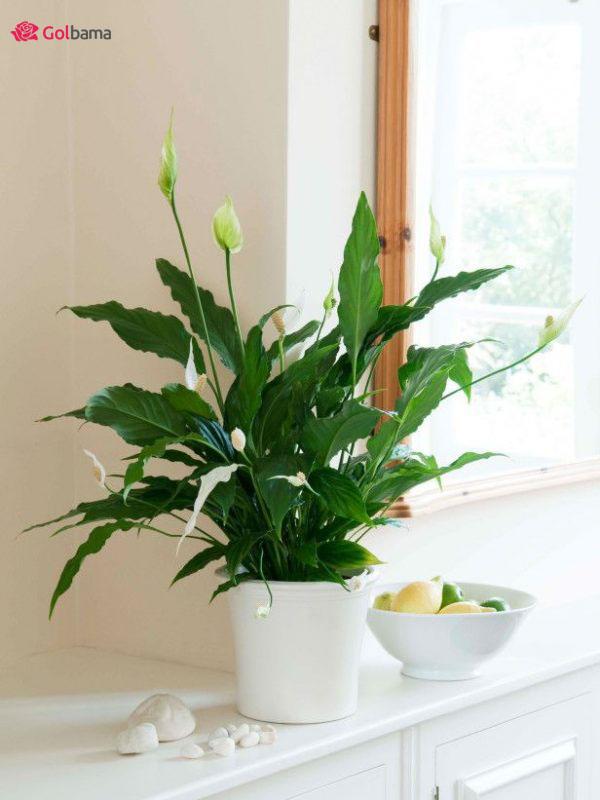 گیاهان آپارتمانی زینتی: 15. گیاه اسپاتی فیلوم (Peace Lily)