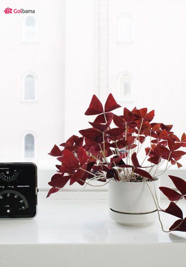 جذابترین گیاهان آپارتمانی زینتی: 4. گیاه اگزالیس یا شبدر زینتی (Oxalis Plant)