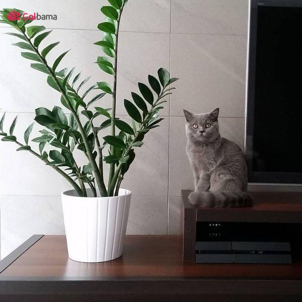 سازگارترین نوع گیاهان آپارتمانی زینتی: 5. گیاه زاموفیلیا (ZZ Plant)