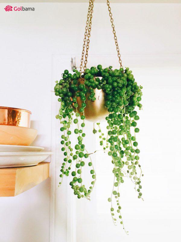 معرفی گیاهان آپارتمانی زینتی: 6. رشته مروارید (String Of Pearls)
