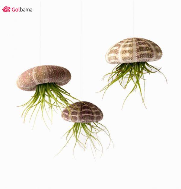 لوکسترین نوع گیاهان آپارتمانی زینتی: 7. گیاه تیلاندسیا (Tillandsia Plant)