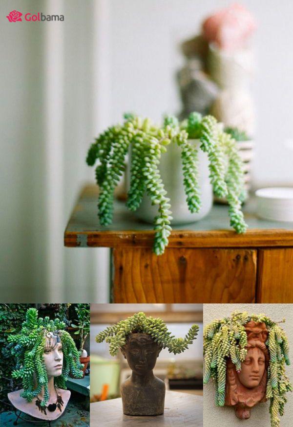 معرفی گیاهانِ آپارتمانی زینتی: 8. گیاه دم الاغی (Donkey Tail Plant)