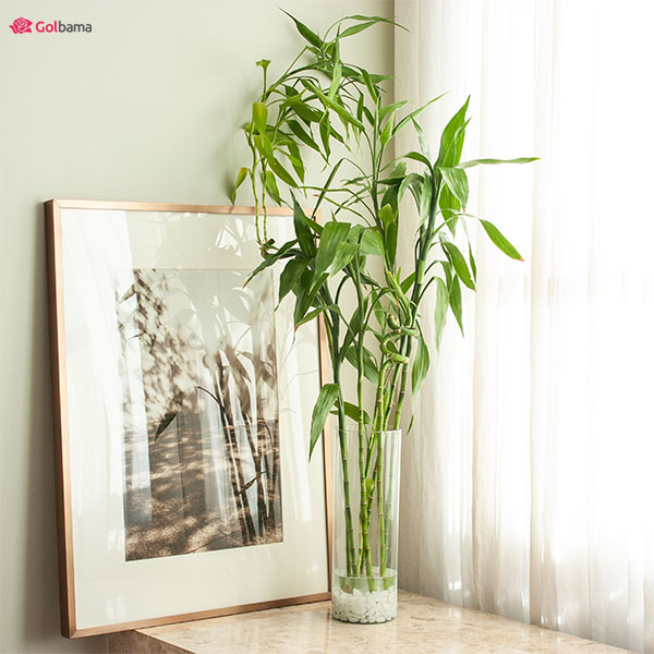سازگارترین گیاهان آپارتمانی سریع الرشد: 9. گیاه بامبو (Bamboo)