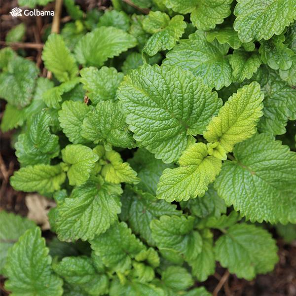 بادرنجه بویه - گیاهان آپارتمانی معطر