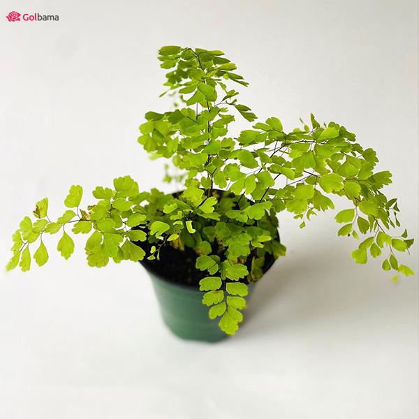گیاهان آپارتمانی رونده: 10. سرخس پرسیاوشان (Maidenhair)