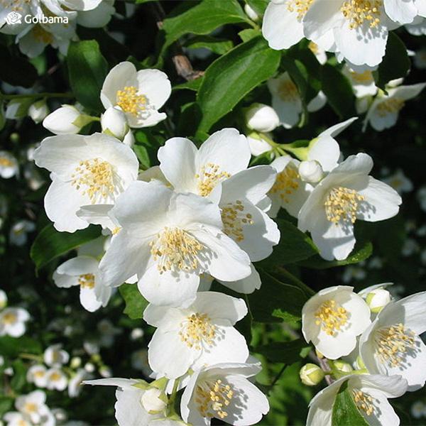 گیاه یاس (Jasmine)