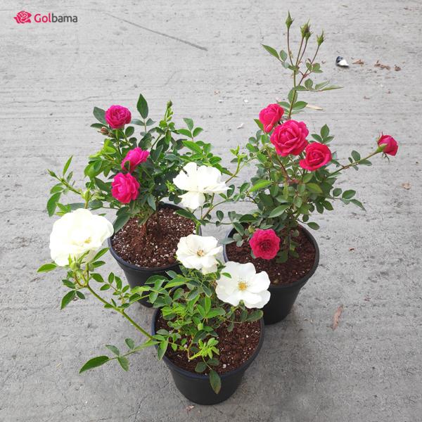 گلهای آپارتمانیِ معطر: 2. گل رز بگونیا (Tea Rose Begonia)