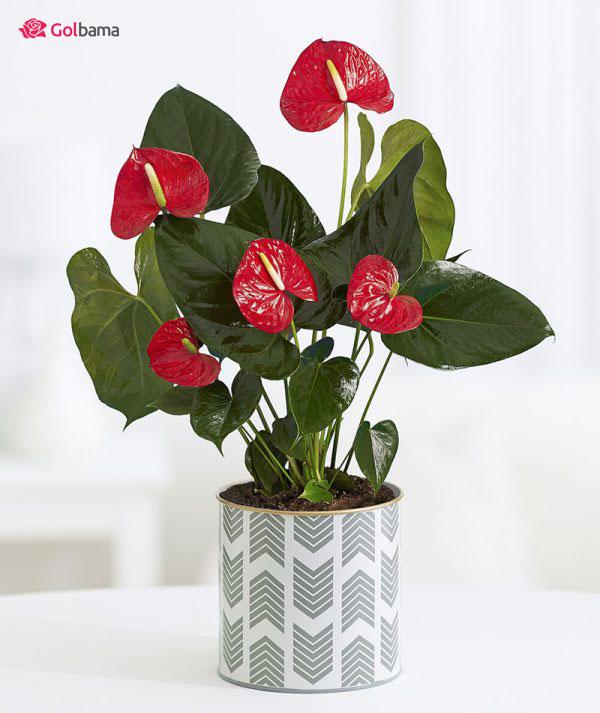 معرفی گیاهانِ آپارتمانی زینتی: 31. گیاه آنتوریوم (Anthurium Plant)
