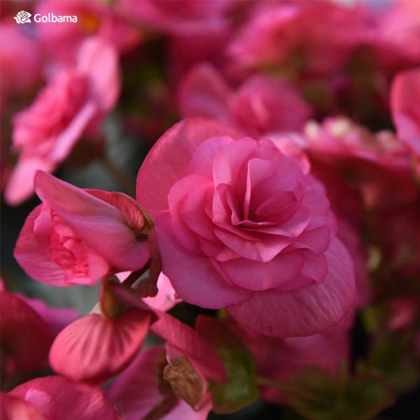 زیباترین نوع گلهای آپارتمانی معطر: گل رز مینیاتوری