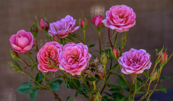 گلهای آپارتمانی معطر