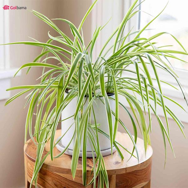 گیاه عنکبوتی - گیاه آپارتمانی سریع الرشد
