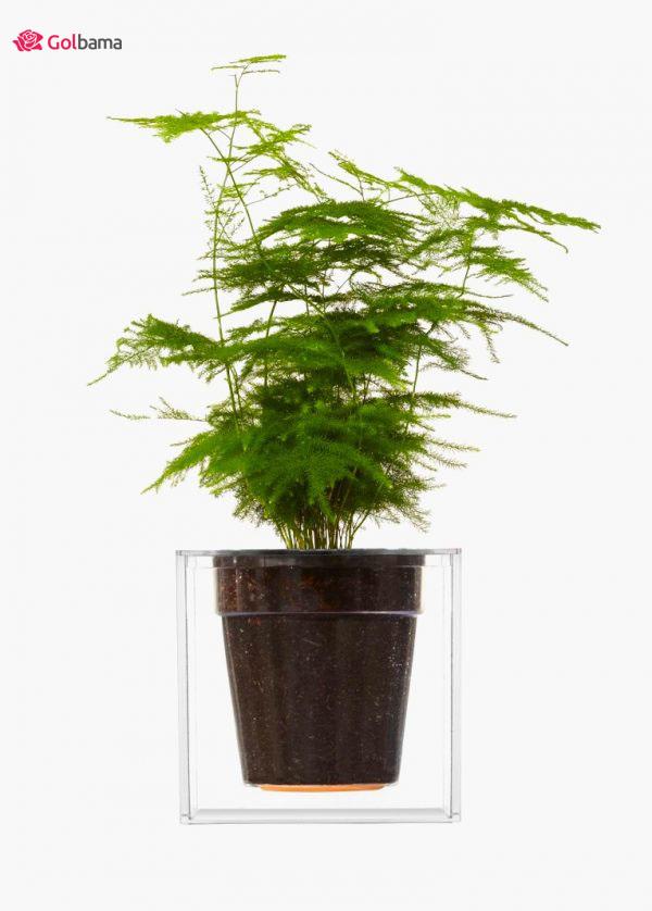 رؤیاییترین نوع گیاهان آپارتمانی زینتی: گیاه سرخس مارچوبه یا گیاه شویدی (Asparagus Fern Plant)
