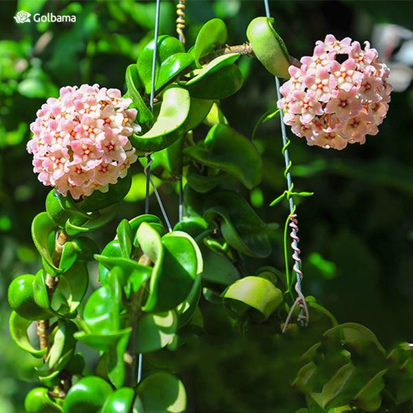 گیاه همیشه سبز گلهای آپارتمانی معطر: هویا