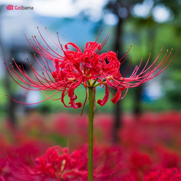 عجیبترین نوع گلهای آپارتمانی معطر - لیلی عنکبوتی