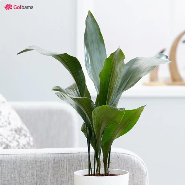 گیاهان آپارتمانی مقاوم - برگ عبایی
