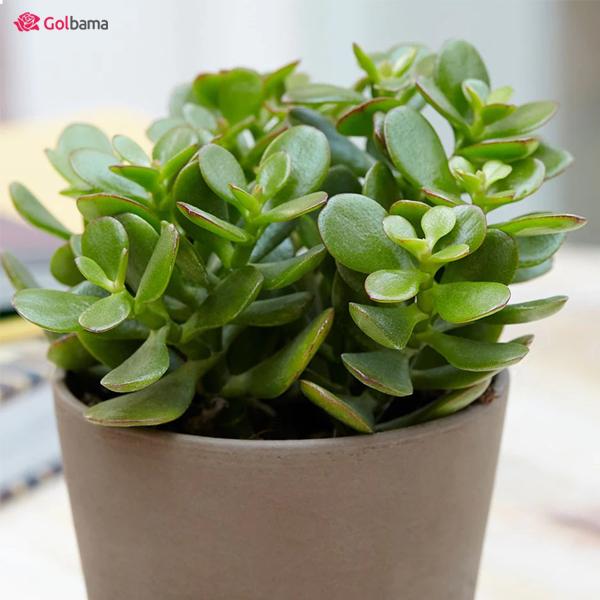 گیاه آپارتمانی مقاوم – کراسولا