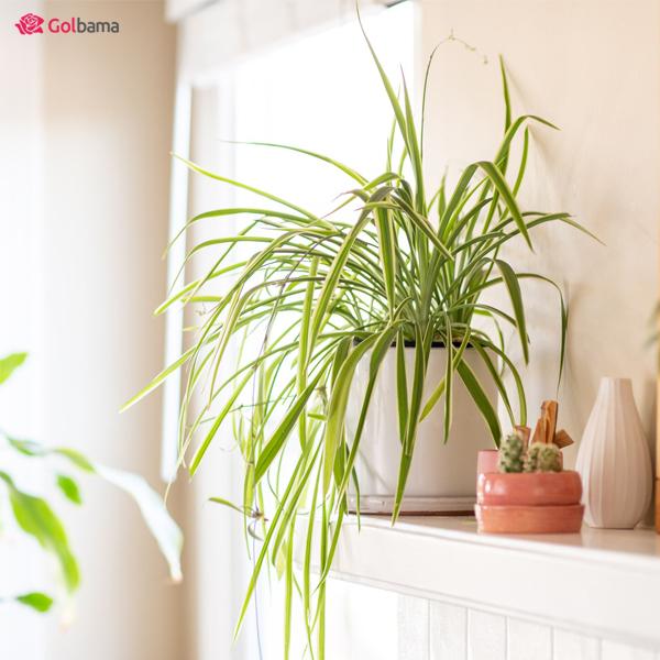 گیاهان مقاوم – گیاه گندمی