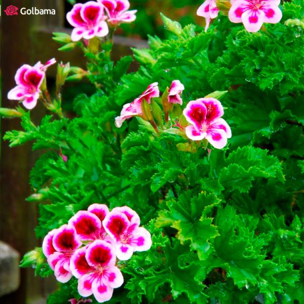 گلهای آپارتمانی معطر سنتی: 1. شمعدانی معطر (Scented Geraniums)