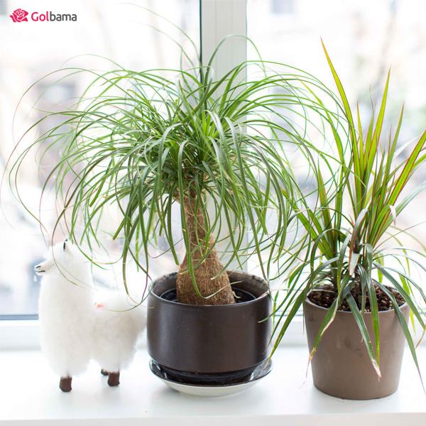 گیاه آپارتمانی مقاوم - لیندا