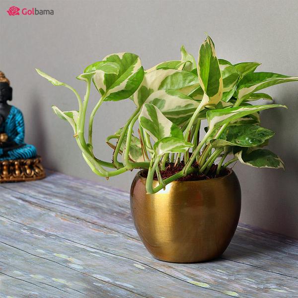 گیاهان آپارتمانی مقاوم – پتوس