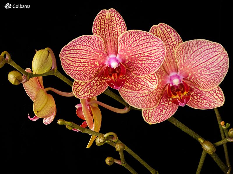 گل ماه تولد تیر ماهیها: 3. گل ارکیده (Orchids)