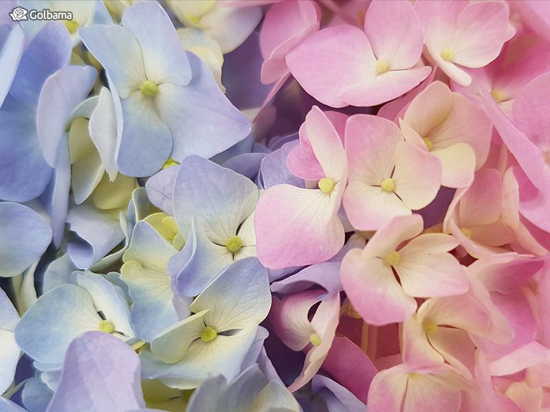 گل ماه تولد تیر ماهیها: 4. گل ادریسی (Hydrangea)
