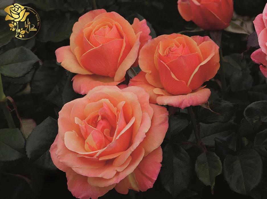 گل رز گرندی فلورا یک گونهی بسیار محبوب است که در باکس گل های کلاسیک مورد استفاده قرار می گیرد.