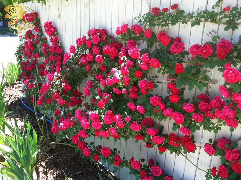 گل رز پیچکی در دهه ۱۸۶۰ معرفی شدند و بسیار خوش عطر هستند.